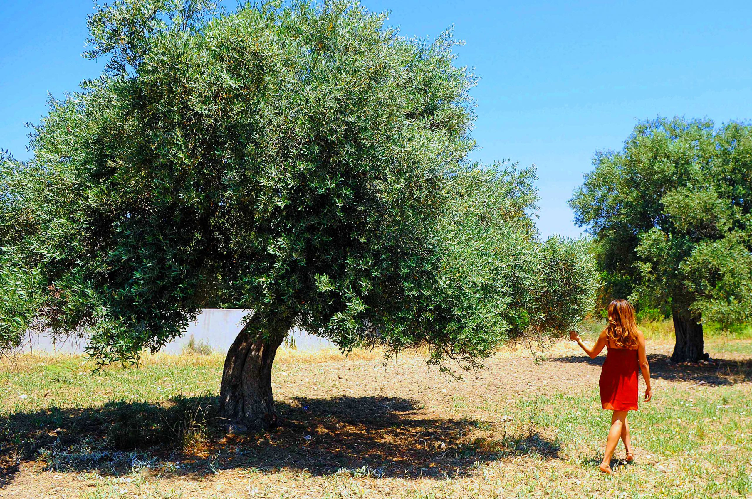 Olive Tree in Cyprus
